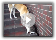 Akita Inu playing with cat