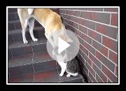 Akita Inu jouant avec un chat