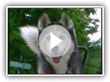 Siberian Husky runs with Bike! Springer Bike with your Dog