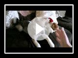 Alaskan Klee Kai (Mini Husky) UK