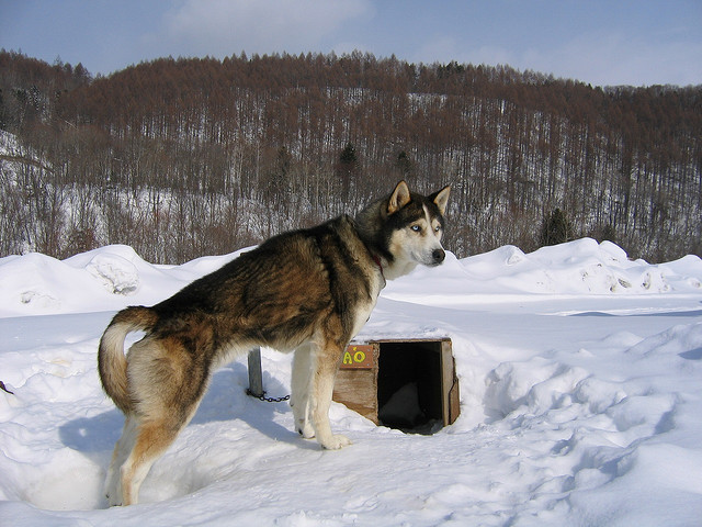 Was There A Husky In A Dog S Purpose