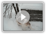 American foxhound Sami