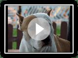 American Staffordshire Terrier - Camarada