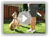 american staffordshire terrier play -madjoker kennel