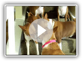 Basenji Cell Phone Reaction