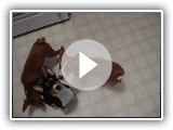 Basenji puppies learning to sit
