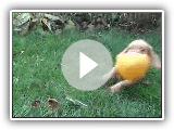 Bazou, Griffon Fauve de Bretagne