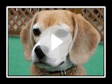 """Purin the Beagle """"Modern Girl"""""""