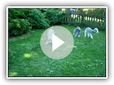 "Bedlington Terrier ""Arc-en-ciel"""