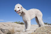 Bedlington Terrier by Ned Harris