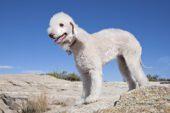 Bedlington Terrier par Ned Harris