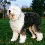 Vieux chien de moutons anglais