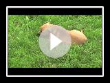 Coco - Ca de Bou (Perro Dogo Mallorquin)
