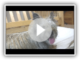 Cairn Terrier's 1st Puppy Birth (in HD)