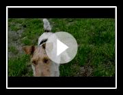 Polin (Fox terrier de pelo duro)