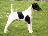 Fox Terrier (Glatthaar)