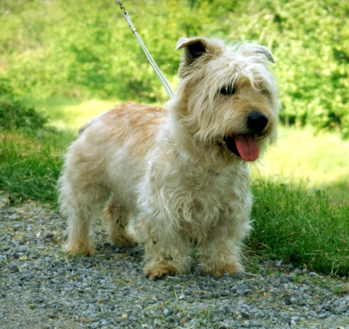 Glen of imaal terrier dogs breeds pets glen of imaal terrier altavistaventures