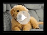Best Of süße Golden Retriever Welpen Compilation