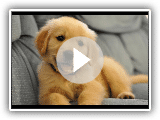 Best Of Cute Golden Retriever Puppies Compilation