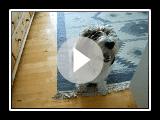 kleiner Basset Griffon Vendéen (Jaspis) video_2
