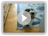 Petit basset griffon vendéen (Jasper) video_2