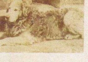 Wavy Coated Terrier