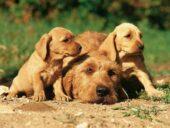 Éleveurs de Basset Fauve de Bretagne en Espagne