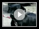 Chien de Berger de Majorque ou Ca de Bestiar - Races de chien - Petclic, passion pour les animaux