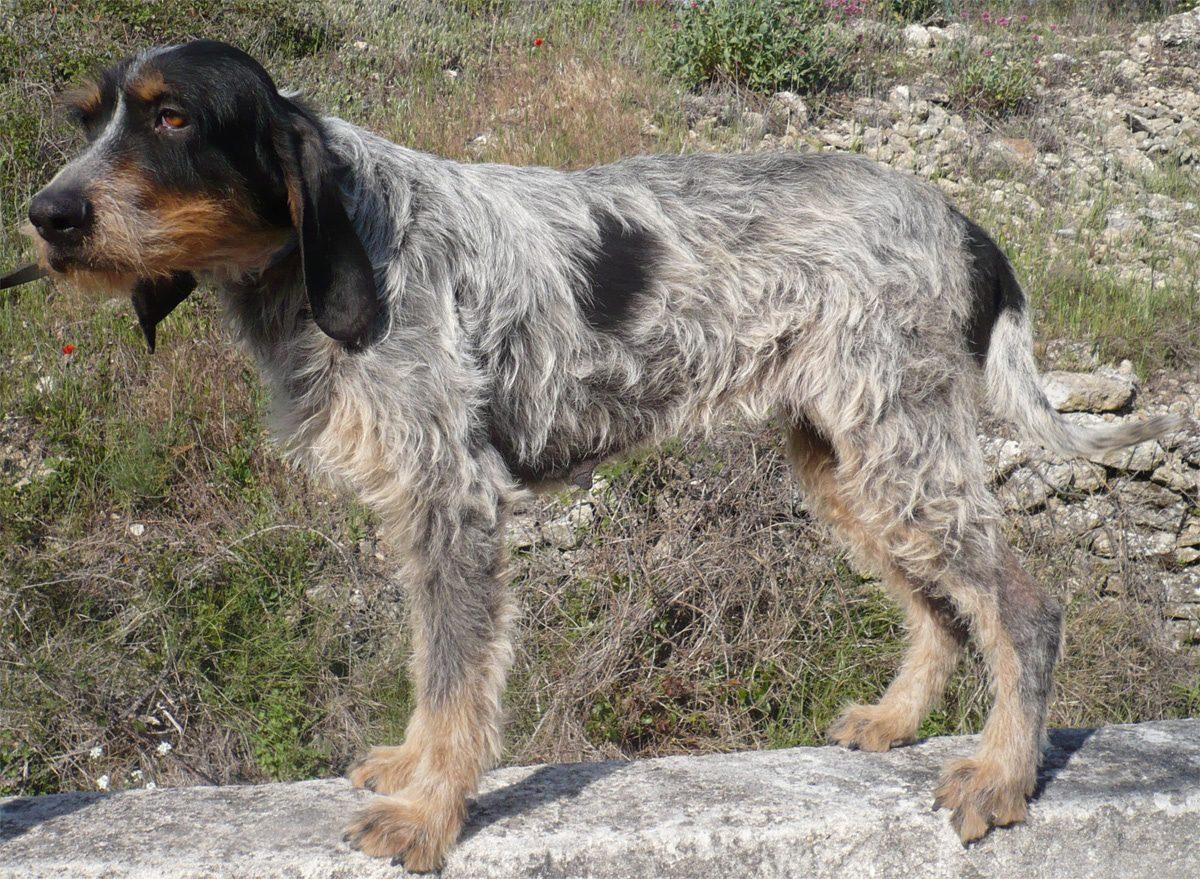 фото собаки породы голубой гасконский гриффон