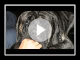 English Mastiff Biggest EVER