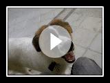 Perro Mucuchie de Venezuela - Entrenando a mi Perro