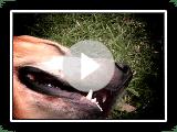 Contrastes - Mucuchíe, el perro oficial de Venezuela