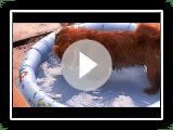 Norfolk Terrier Plumperplanschi