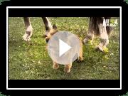 Dogs 101- Norwich Terrier