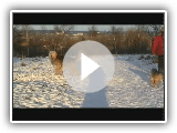 Oscar Otterhound rooing.avi