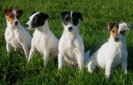 Parson-Russell-Terrier