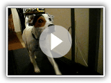 Tyson my Parson Russell Terrier on the treadmill !!
