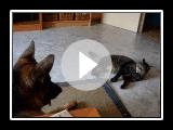 escalofriante pelea pastor aleman contra gato XDjeje