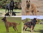Rasse belgischer Schäferhund