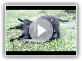 Devil, Belgian Groenendael Puppy pt 1