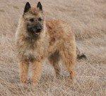 Belgischer Schäferhund Laekenois