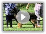 The Belgian Tervuren - Chapter 1