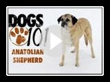 Dogs 101 - Anatolian Shepherd