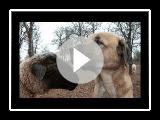 The Anatolian Shepherd Dog: Ancient Breed