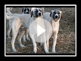 Anatolian Shepherd Dog Pups at 9 months