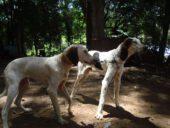 Brasilianischer Laufhund