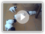 Ratonero bodeguero andaluz filhotes com 17 Dias