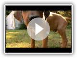 Rhodesian Ridgeback Video (Animal Planet)