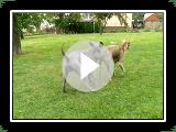 Thai Ridgeback Dog - PLUMS JEWEL