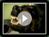 Diesel our dangerous rottweiler